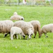 Sheep on meadow — Stock Photo