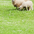 Stock Photo: Sheep with lamb