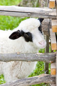 Portrait of lamb — Stock Photo