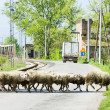 Stock Photo: Sheep herd, Serbia