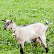 Stock Photo: Goat on meadow