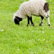 Stock Photo: Lamb on meadow