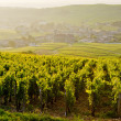 Royalty-Free Stock Photo: Vineyards, Burgundy, France