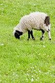 Lamb on meadow — Stock Photo