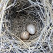 Two eggs in nest — Stock Photo