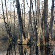 Flooded forest — Stock Photo #2779064