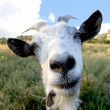 Funny Rural billy goat on the meadow - Stock Photo