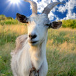 Billy goat on meadow — Stock Photo