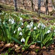 Snowdrops in forest — Stock Photo