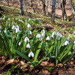 Постер, плакат: Snowdrops in forest