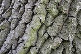 Oak cortex — Stock Photo