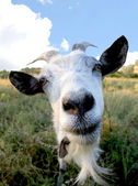 Funny Rural billy goat on the meadow — Stock Photo