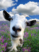 Funny Rural billy goat — Stock Photo