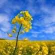 Rape field — Stock Photo #2809280