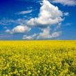 Yellow field and blue sky — Stock Photo