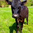 Funny bull-calf on pasture - Stock Photo