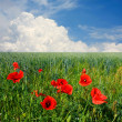 Royalty-Free Stock Photo: Red poppy blossoming on green field
