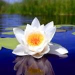pěkná voda lily květina — Stock fotografie