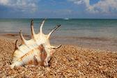 Zeeschelp op zeekust — Stockfoto