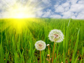 Dandelions on summer field — Stock Photo