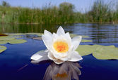 Nice water lily flower — Stock Photo