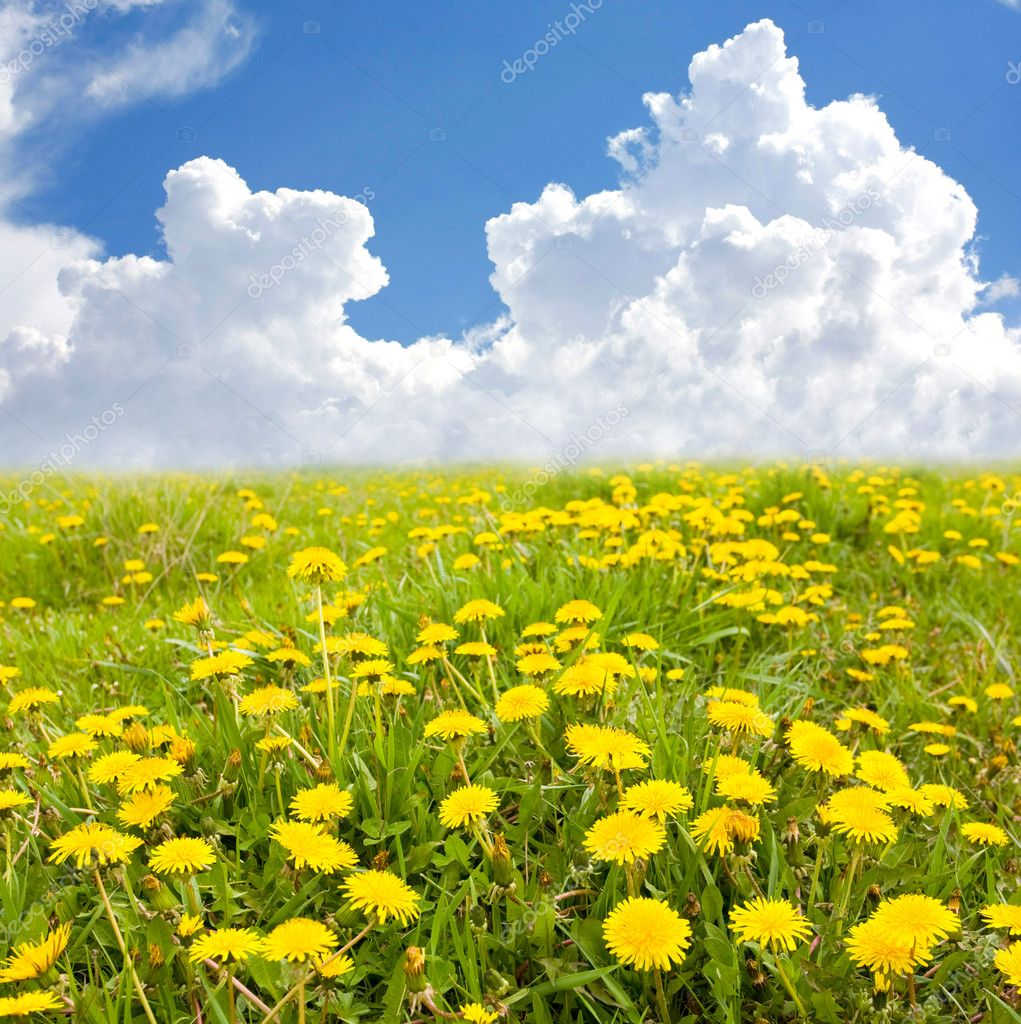 Yellow Flowers Field Stock Photo Pavlo Klymenko