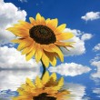 Sunflower on the blue sky background — Stock Photo #2810449