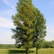 Stock Photo: Two poplar on water