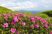 Nice mountains flowers of rhododendron — Zdjęcie stockowe
