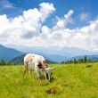 Stock Photo: Cow on mountains pasture