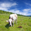 Cow on meadow — Photo