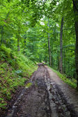 Dirty road in green forest — Foto Stock