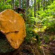 Wooden stump in forest — Stock Photo