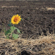 Last alone sunflower on arable land — Stock Photo