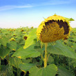 Ripen sunflower on field — Stock Photo #2971832