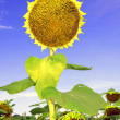 Ripen sunflower — Stock Photo
