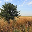Alone tree on the meadow — Stok fotoğraf