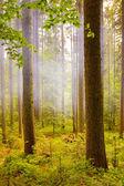 Misty forests landscape — Stock Photo