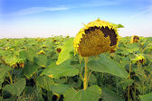 Ripen sunflower on field — Stock Photo
