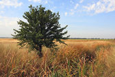 Alone tree on the meadow — Foto Stock