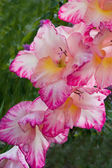 Gladiolus blossoming — Stock Photo