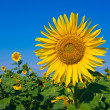 Royalty-Free Stock Photo: Nice sunflower