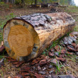 Stock Photo: Cutted log in forest