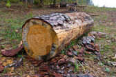 Cutted log in forest — 图库照片