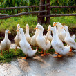 Stock Photo: White goose on rural farm