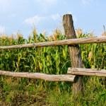 Wiew on wooden fence near corn field — Stock Photo