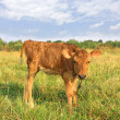 Funny calf on rural meadow — Stock Photo