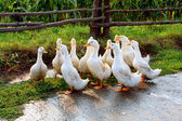 White goose on rural farm — Stock Photo