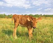 Vitello divertente sul prato rurale — Foto Stock
