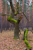 Aged tree in forest — Stock Photo